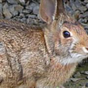 Wild Rabbit Art Print