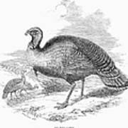 Wild Turkey, 1853 Art Print