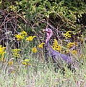 Wild Turkey - Gobbler - Thanksgiving Art Print
