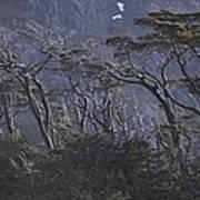 Wind-sculpted Southern Beech Forest Art Print