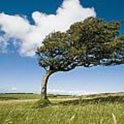 Wind-swept Solitary Tree On Open Grassy Art Print