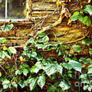 Window And Grapevines Art Print by HD Connelly