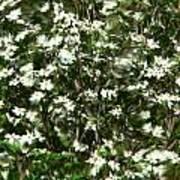 Window Onto Dogwood Blossoms  Art Print