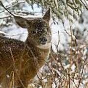 Winter Dining For A Black-tailed Deer Art Print by Tim Grams