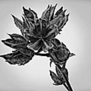 Winter Dormant Rose Of Sharon - Bw Art Print