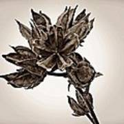 Winter Dormant Rose Of Sharon - S Art Print