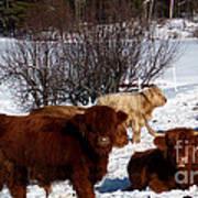 Winter Steer  Art Print by The Kepharts