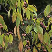 Winterberry Euonymus 'dart's Pride' Art Print