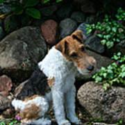 Wirehair Fox Terrier Art Print