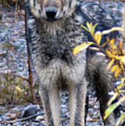 Wolf Cub in Denali Art Print