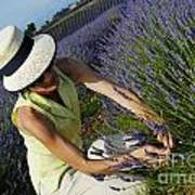 Woman Picking Up Lavender Flowers In Field Art Print