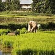 Woman Planting Rice Art Print