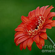 Wonder Of Nature Gerber Daisy Art Print