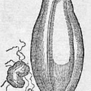 Woodcut Of A Soursop Fruit Art Print