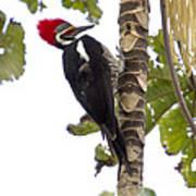 Woodpecker 1 Art Print