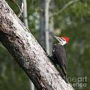 Woodpecker Sizes Me Up Art Print