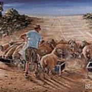 Working Sheep In South-africa Art Print