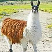 Wyoming Llama - El Tuffo Art Print
