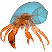 X-ray Of Hermit Crab Art Print