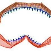 X-ray Of Shark Jaws Art Print