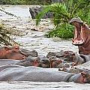 Yawning Hippo Hippopotamus Amphibius Art Print