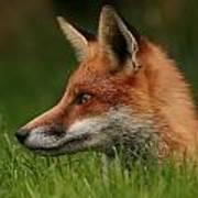 Yearling Fox Art Print by Jacqui Collett