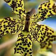 Yellow And Black Spotted Orchid Art Print
