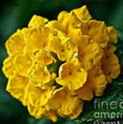 Yellow Blooms Art Print