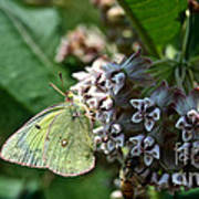Yellow Cabbage Moth Art Print