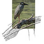Yellow-crowned Night-heron Art Print