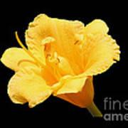 Yellow Day Lily On Black Art Print