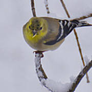 Yellow Finch Cold Snow Art Print