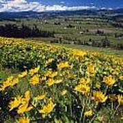 Yellow Flowers Blooming, Hood River Art Print