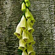 Yellow Foxglove Flowers Art Print