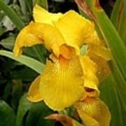 Yellow Iris Tasmania Australia Art Print