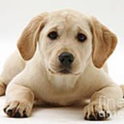 Yellow Lab Puppy Art Print