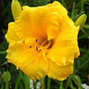 Yellow Lily - Oshun Art Print