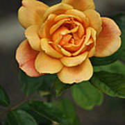 Yellow Rose Of Baden Art Print