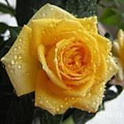 Yellow Roses With Water Droplets Art Print