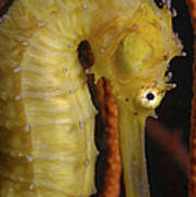 Yellow Seahorse, Batam, Riau, Indonesia Art Print