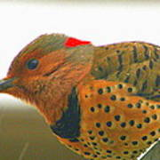 Yellow Shafted Flicker Art Print