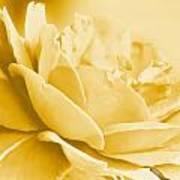 Yellow Tone Rose  Art Print