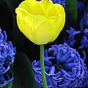 Yellow Tulip And Hyacinth Art Print