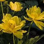 Yellow Tulips  Tulipes Jaune Art Print
