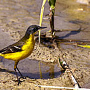 Yellow Wagtail Art Print