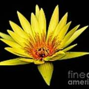 Yellow Water Lily Print by Nick Zelinsky