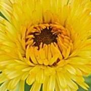 Yellow Zinnia 9494 4286 Art Print