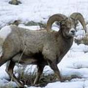 Yellowstone Big Horn Sheep Art Print