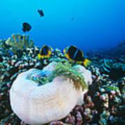 Yellowtail Anemonefish By Their Anemone Art Print