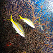 Yellowtail Snappers And Sea Fan, Belize Art Print
